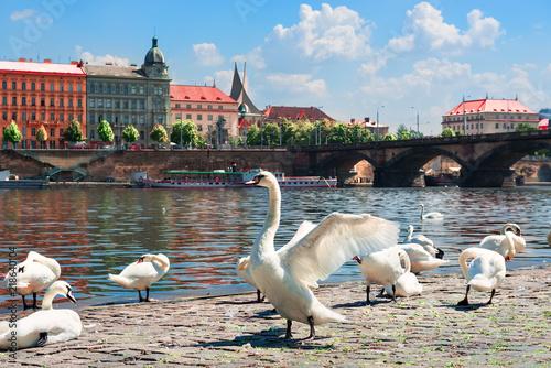 Fototapeta Praga nabrzeza-weltawy-w-pradze-z-labedziami