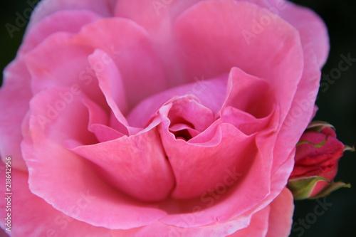 Delikatna różowa róża - makro -zbliżenie na płatki