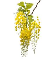 Golden Shower Flower,cassia  Fistula Isolate On White.