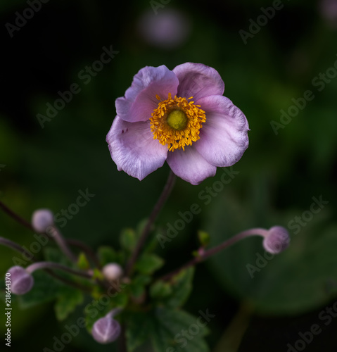 Fototapeta  Color surrealistic outdoor floral image of a blooming pink autumn anemone with b