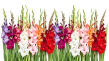 Gladiolus Flowers Isolated Whi...