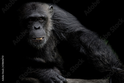 Tableau sur Toile Cute Chimpanzee hold peanut in his mouth on black background