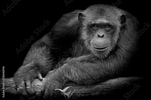 Fotomural Black and White Cute Chimpanzee smile and catch big branch and look straight to