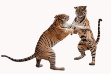 Tiger Action On White Background .