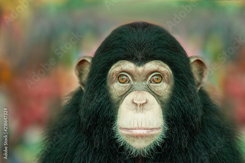 Chimpanzee funny. Wallpaper Mural