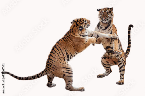 In de dag Tijger Tiger action on white background .