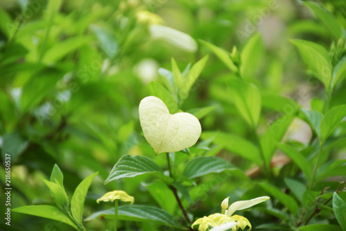 Valentine concept, nature love concept, alight green heart shape leaf on blurry Wallpaper Mural
