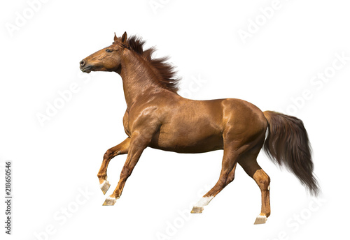 isolate of the red horse galloping on the white background