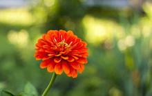 Zinnia Blossom