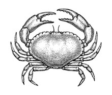 Ink Sketch Of Edible Crab