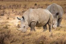 Rhinoceroses. Two Rhinoceroses...