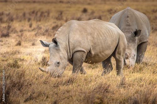 Rhinoceroses. Two Rhinoceroses eat grass. Kenya. Africa. Safari in Africa.