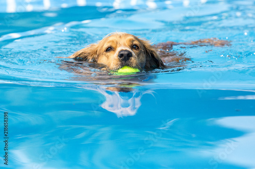 Dog retrieving a toy and playing in pool at splash challenge Fototapeta