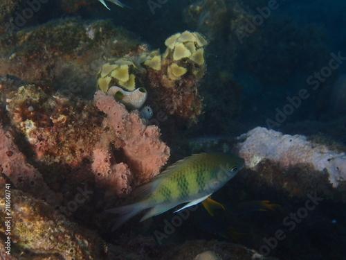 Fische im Korallenriff am Biorock Project Pemuteran Bali Indonesien