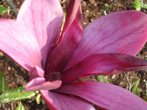 Gros Plan Avec L Interieur D Une Fleur De Magnolia Mauve Buy This