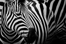 Zebra On Dark Background. Blac...
