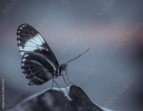 Insece Seul Papillon Noir Et Blanc Vue De Profil Posé Sur