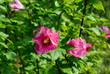 a blooming hibiscus bush with pink flowers