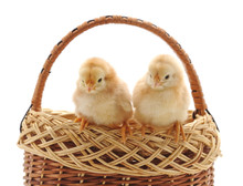 Two Small Chickens In The Basket.