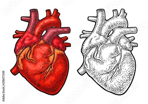 Fototapeta Human anatomy heart. Vector color vintage engraving illustration