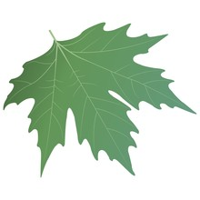 Green Sycamore Leaf. Vector Il...