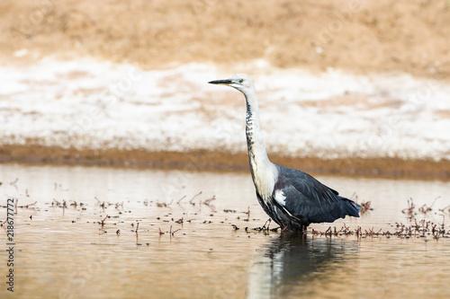 White-necked Heron (Ardea pacifica) Canvas Print