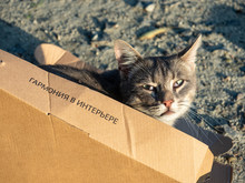 "Cute Tabby Cat Hiding Playfully In Cardboard Box On Rough Outdoors Floor. Box Says In Russian ""Harmony In Interior"""