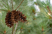 Pine Cone Cluster