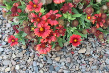 Red Flowers And Rocks