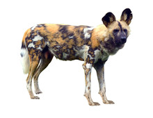 African Wild Dog Isolated On W...