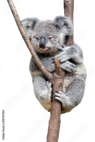 Foto auf Gartenposter Koala Baby cub Koala isolated on white background