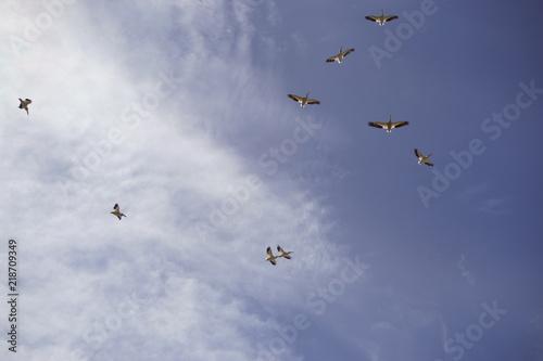 Valokuva  American White Pelican Squadron in Flight