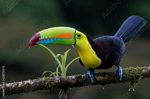 Tuinposter Toekan A perched keel billed toucan photographed in Costa Rica