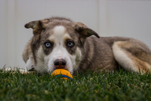 Husky Chews Ball Outside In Th...