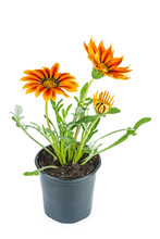 Orange Gazania Rigens Flower In Black Plastic Pot