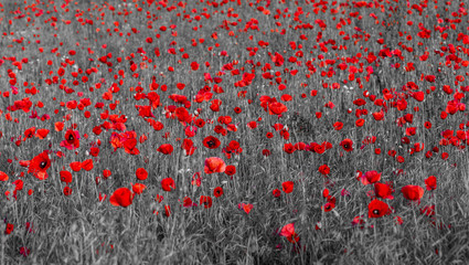 Panel Szklanyred poppies,selective color, only red and black