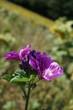 lila Blume, blauer Himmel