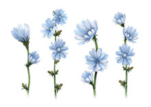 Watercolor Illustrations Of Chicory Flowers