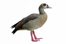 Isolated Egyptian Duck On White Background
