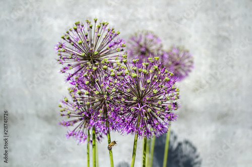 Fototapeta Czosnek - kwiaty  flowering-wild-onion-in-a-flower-bed-on-a-gray-wall-background