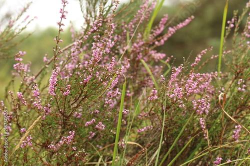 Fototapeten Natur Heideplant