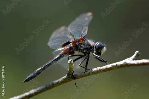 Leucorrhinia pectoralis, maschio