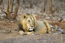Asiatic Lion Or Panthera Leo Persica, Resting In The Forest At Gir National Park Gujarat, India
