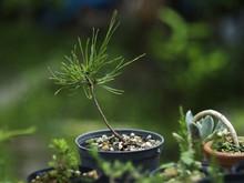 Bonsai Japanese Black Pine See...