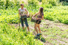 Happy Young Woman Girl And Man Couple Love Romantic Farmers With Shovel And Pitchfork, Harvesting Many Bunch Of Garlic Bulb Harvest Boxes In Farm Or Garden Smiling
