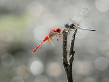 Two Red And Blue Dragonfries Face To Face And Catching On Same Branch In Sun Light At Morning On Bokeh Background