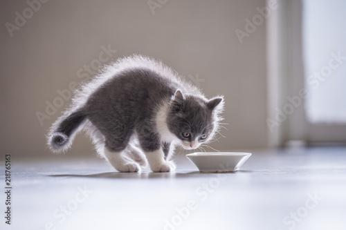 British short hair cat, shot indoors Poster Mural XXL