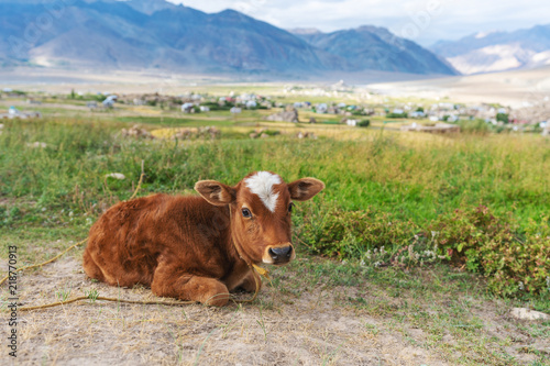 Calf on agriculture farm in summer, young cow relaxing in rural area Canvas Print