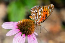 Side View Of A Gulf Fritillary (Agraulis Vanillae) Butterfly On A Purple Cone Flower.