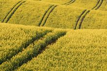 Rapeseed Yellow Field In Sprin...